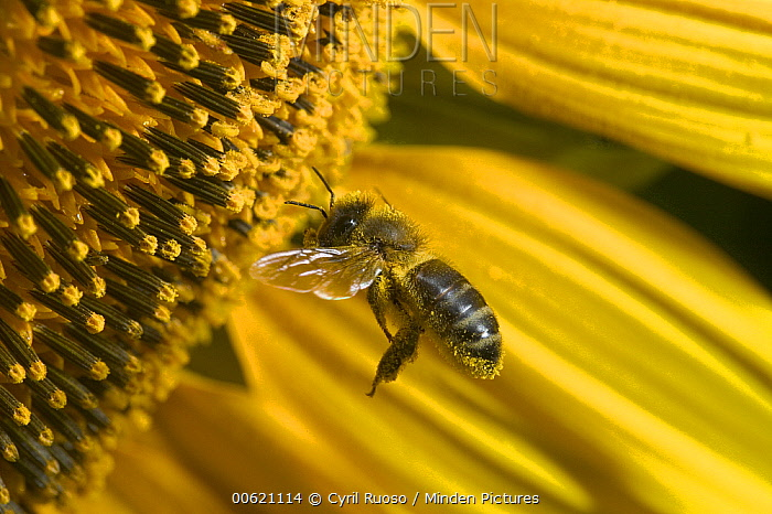 Honey Bee (Apis mellifera) covered in pollen on a Common Sunflower (Helianthus annuus) close up, Bourgogne, France  -  Cyril Ruoso