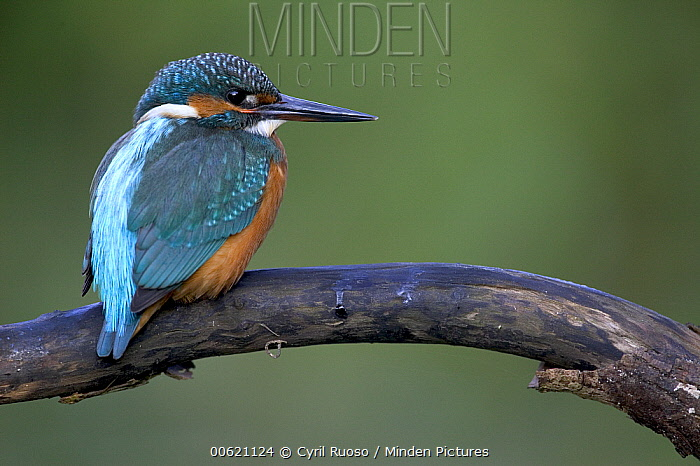 Common Kingfisher (Alcedo atthis) portait, Yonne, France  -  Cyril Ruoso