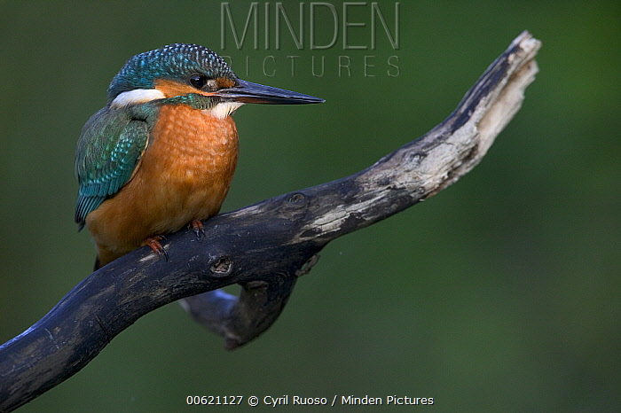 Common Kingfisher (Alcedo atthis) portrait, Yonne, France  -  Cyril Ruoso
