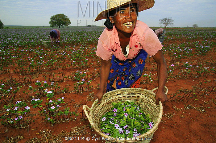 Rosy Periwinkle (Catharanthus roseus) harvested by Malagasy woman, leaves and flowers used for anti-cancer medicine, Berenty Private Reserve, Madagascar  -  Cyril Ruoso