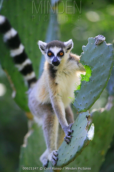 Ring-tailed Lemur (Lemur catta) eating Opuntia (Opuntia sp) cactus, introduced from South America, it became a very important food subsistance for Lemurs, cattle and even humans, vulnerable, Berenty Private Reserve, Madagascar  -  Cyril Ruoso