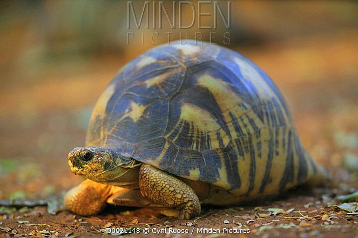 Radiated Tortoise (Geochelone radiata) close up portrait, vulnerable, Berenty Private Reserve, Madagascar  -  Cyril Ruoso
