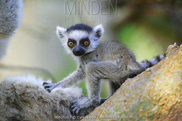 Ring-tailed Lemur (Lemur catta) baby portrait, vulnerable, Berenty Private Reserve, Madagascar  -  Cyril Ruoso