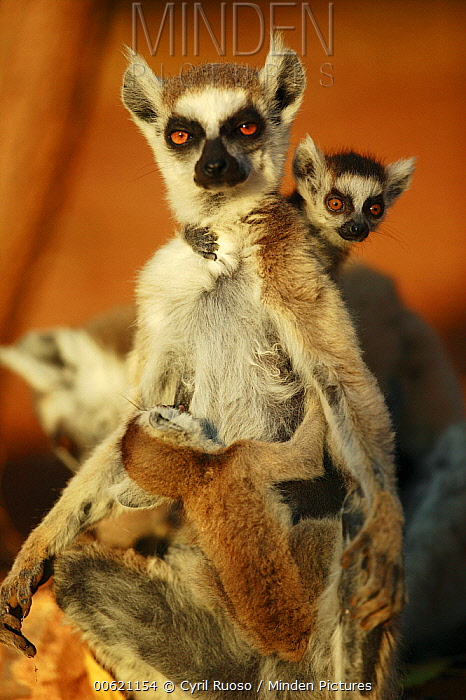 Ring-tailed Lemur (Lemur catta) mother with twins, vulnerable, Madagascar  -  Cyril Ruoso