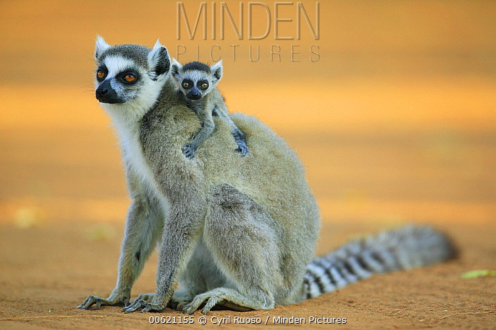 Ring-tailed Lemur (Lemur catta) mother with baby climbing on her back, vulnerable, Berenty Private Reserve, Madagascar  -  Cyril Ruoso