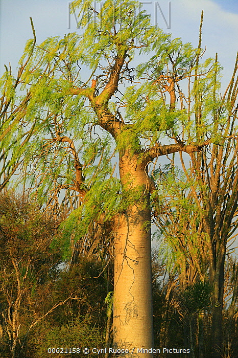 Baobab (Adansonia sp) tree with green leaves, Berenty Private Reserve, Madagascar  -  Cyril Ruoso
