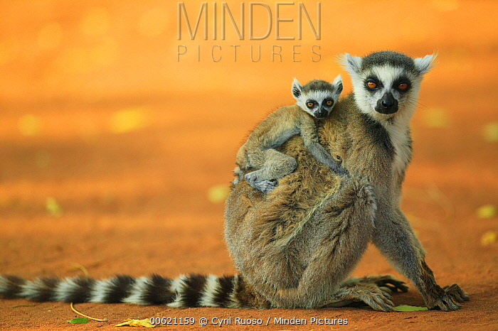 Ring-tailed Lemur (Lemur catta) mother with baby clinging to her back, vulnerable, Berenty Private Reserve, Madagascar  -  Cyril Ruoso