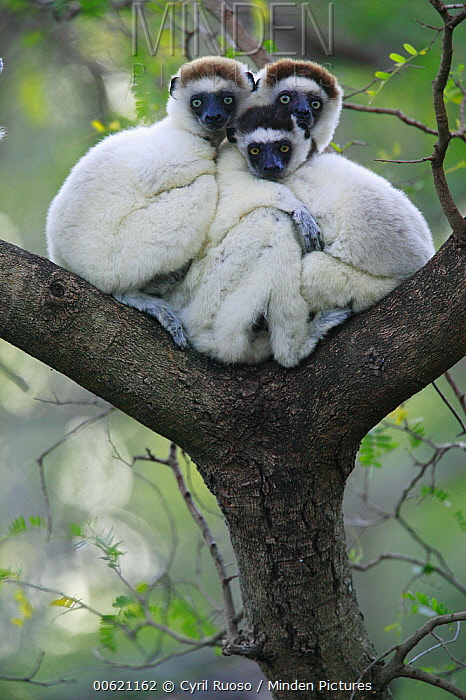 Verreaux's Sifaka (Propithecus verreauxi) trio huddling, vulnerable, Berenty Private Reserve, Madagascar  -  Cyril Ruoso