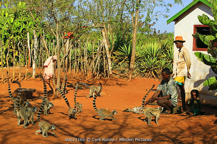 Ring-tailed Lemur (Lemur catta) group interacting with Antandroy people in village, vulnerable, Berenty Private Reserve, Madagascar  -  Cyril Ruoso