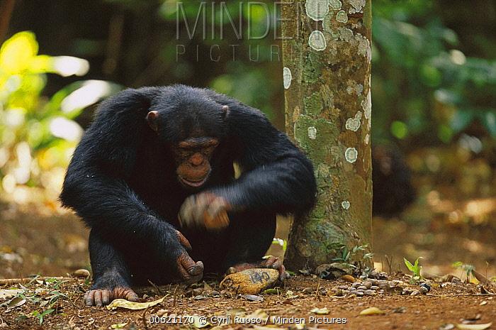 Chimpanzee (Pan troglodytes) using two rocks as tools to crack a nut, Guinea  -  Cyril Ruoso