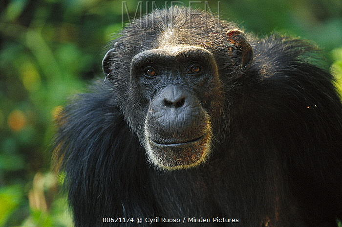 Chimpanzee (Pan troglodytes) portrait, Guinea  -  Cyril Ruoso