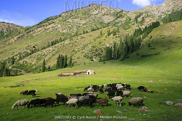 Domestic Sheep (Ovis aries) group, free ranging, grazing, Kyrgyzstan  -  Cyril Ruoso