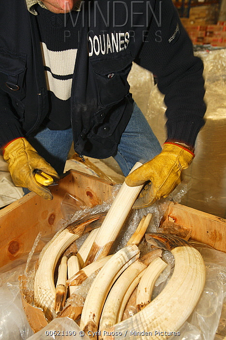 Cape Warthog (Phacochoerus aethiopicus) tusks, hunting trophies that get checked in customs in regard to CITES and local law, France  -  Cyril Ruoso
