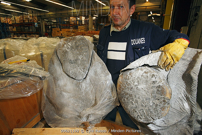 African Elephant (Loxodonta africana) feet, hunting trophies that get checked in customs in regard to CITES and local law, France  -  Cyril Ruoso