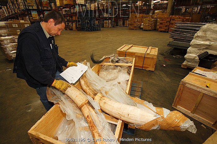 African Elephant (Loxodonta africana) tusk, hunting trophies that get checked in customs in regard to CITES and local law, France  -  Cyril Ruoso