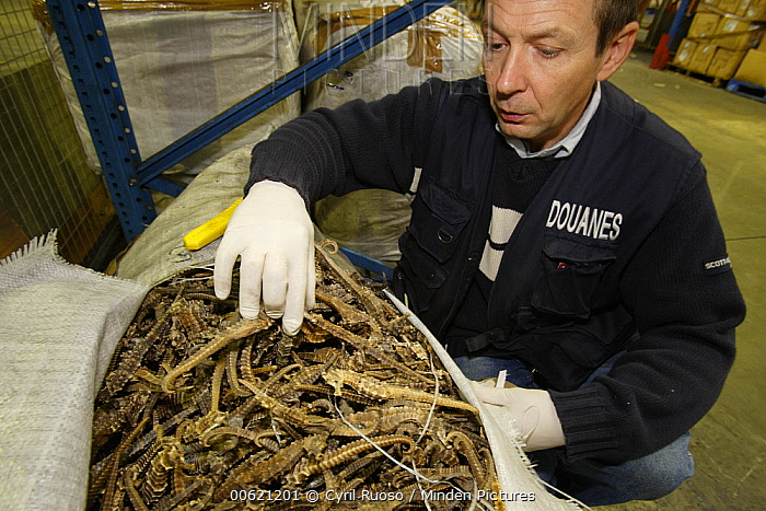 Seahorse (Hippocampus sp) group, thirty-five thousand individuals illegaly exported for traditional chinese medicine, are seized by customs agent, France  -  Cyril Ruoso