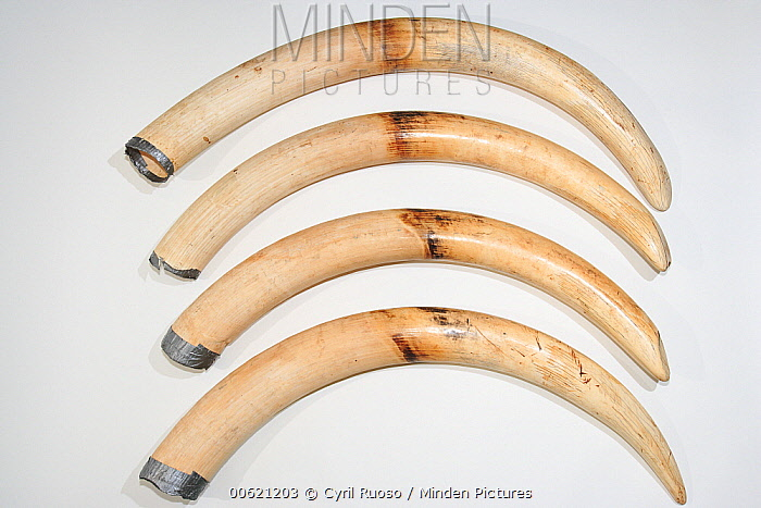 African Elephant (Loxodonta africana) tusks without CITES documentation are seized by customs, France  -  Cyril Ruoso