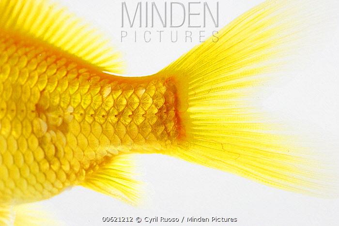 Goldfish (Carassius auratus) tail, France  -  Cyril Ruoso