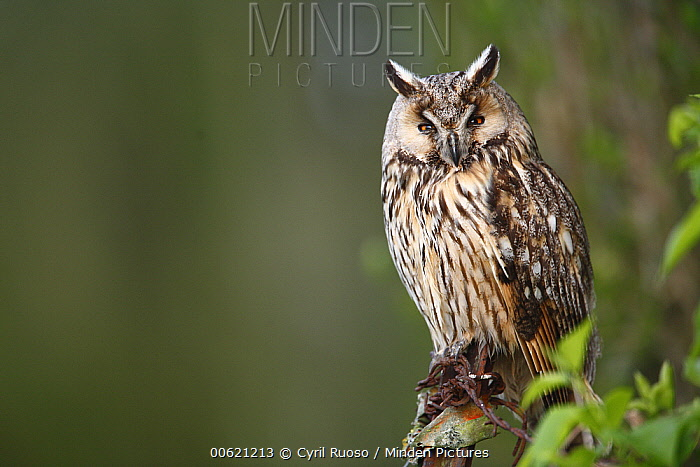 Long-eared Owl (Asio otus), France  -  Cyril Ruoso
