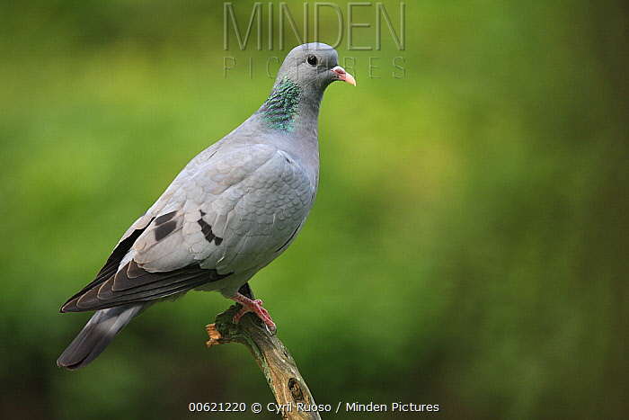Stock Dove (Columba oenas), France  -  Cyril Ruoso