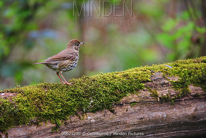 Mistle Thrush (Turdus viscivorus) on log, France  -  Cyril Ruoso