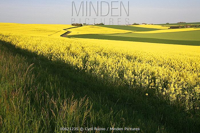 Field Mustard (Brassica rapa) field, France  -  Cyril Ruoso