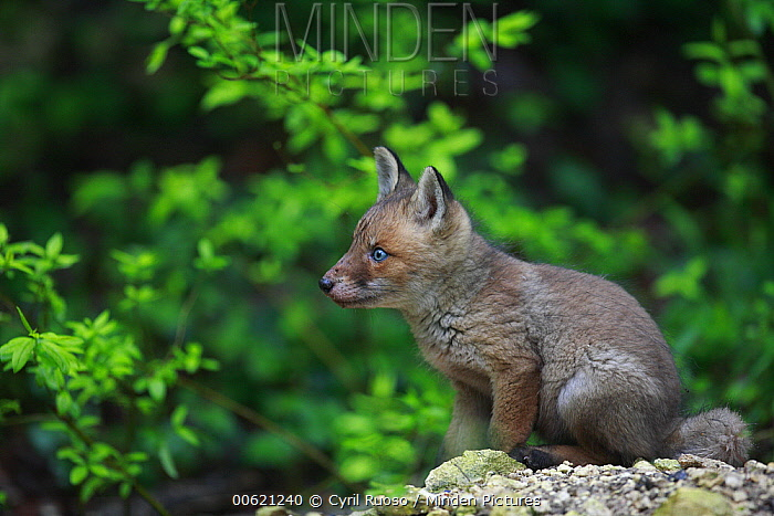 Red Fox (Vulpes vulpes) pup next to den, Burgundy, France  -  Cyril Ruoso