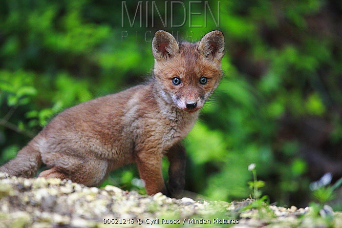 Red Fox (Vulpes vulpes) pup, Burgundy, France  -  Cyril Ruoso