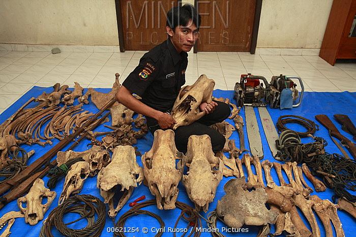 Sumatran Rhinoceros (Dicerorhinus sumatrensis) anti-poaching team member with confiscated artifacts, Way Kambas National Park, Sumatra, Indonesia  -  Cyril Ruoso