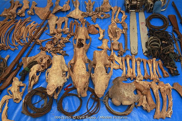 Sumatran Rhinoceros (Dicerorhinus sumatrensis) anti-poaching team confiscated artifacts, Way Kambas National Park, Sumatra, Indonesia  -  Cyril Ruoso