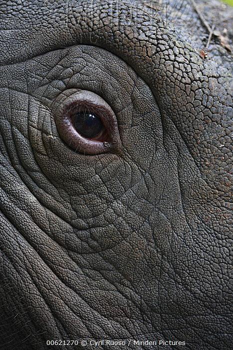 Sumatran Rhinoceros (Dicerorhinus sumatrensis) eye, Sumatran Rhino Sanctuary, Way Kambas National Park, Indonesia  -  Cyril Ruoso