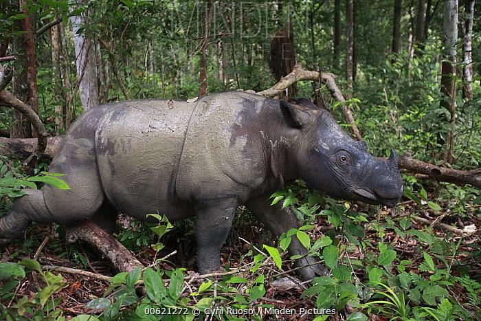 Sumatran Rhinoceros (Dicerorhinus sumatrensis) female walking, Sumatran Rhino Sanctuary, Way Kambas National Park, Sumatra, Indonesia  -  Cyril Ruoso