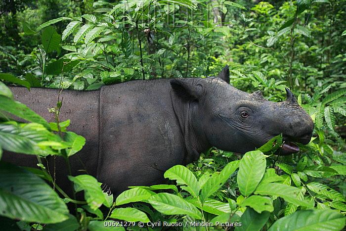 Sumatran Rhinoceros (Dicerorhinus sumatrensis) female, Sumatran Rhino Sanctuary, Way Kambas National Park breeding center, Sumatra, Indonesia  -  Cyril Ruoso