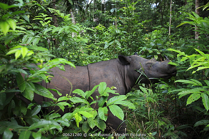 Sumatran Rhinoceros (Dicerorhinus sumatrensis) female, Sumatran Rhino Sanctuary, Way Kambas National Park, Sumatra, Indonesia  -  Cyril Ruoso