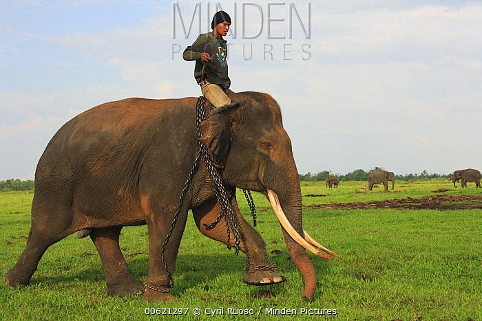 Asian Elephant (Elephas maximus), a domesticated animal, with man riding on its back, Way Kambas National Park, Sumatra, Indonesia  -  Cyril Ruoso