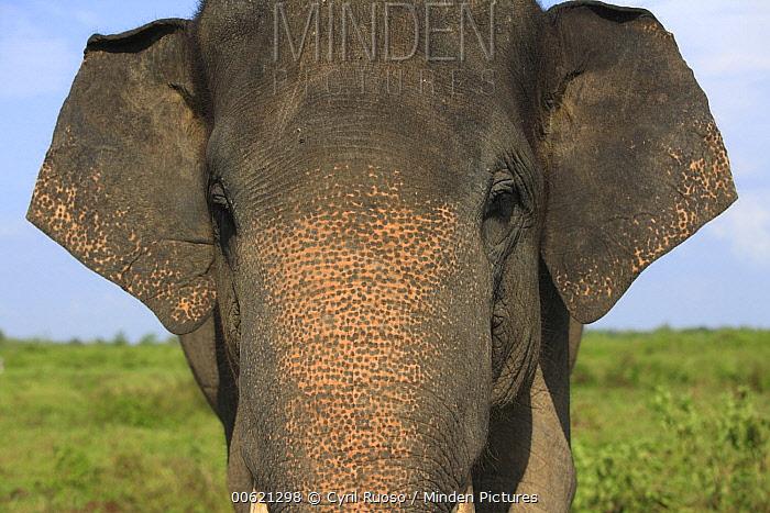 Asian Elephant (Elephas maximus), Way Kambas National Park, Sumatra, Indonesia  -  Cyril Ruoso