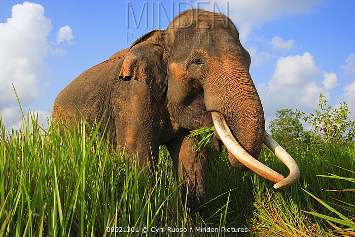 Asian Elephant (Elephas maximus) eating grass, Way Kambas National Park, Sumatra, Indonesia  -  Cyril Ruoso