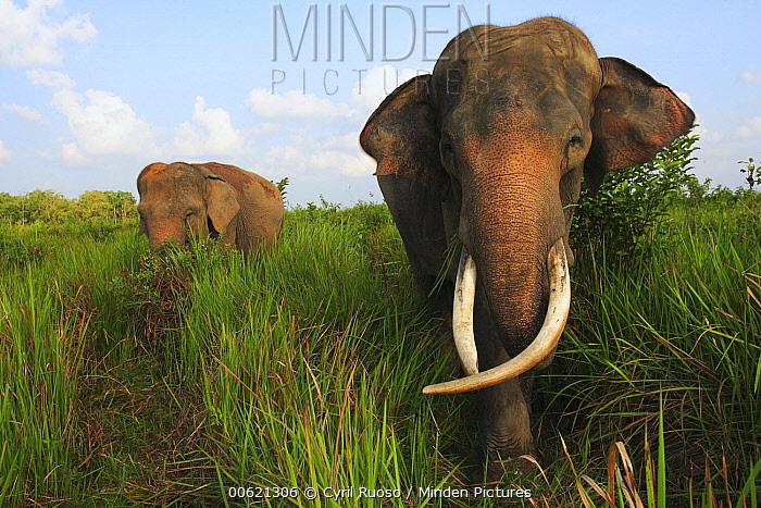 Asian Elephant (Elephas maximus) pair, Way Kambas National Park, Sumatra, Indonesia  -  Cyril Ruoso
