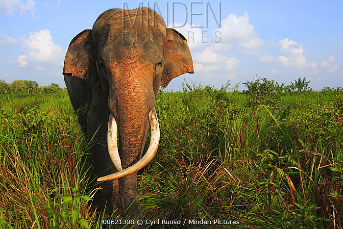 Asian Elephant (Elephas maximus), Way Kambas National Park, Sumatra, Indonesia  -  Cyril Ruoso