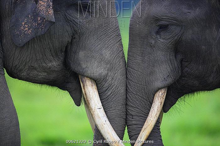 Asian Elephant (Elephas maximus) pair playing, Way Kambas National Park, Sumatra, Indonesia  -  Cyril Ruoso