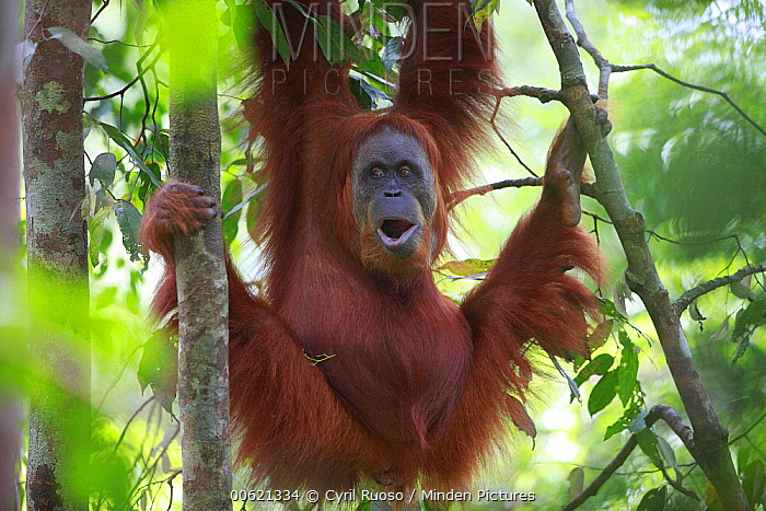 Sumatran Orangutan (Pongo abelii) male calling in tree, Gunung Leuser National Park, Sumatra, Indonesia