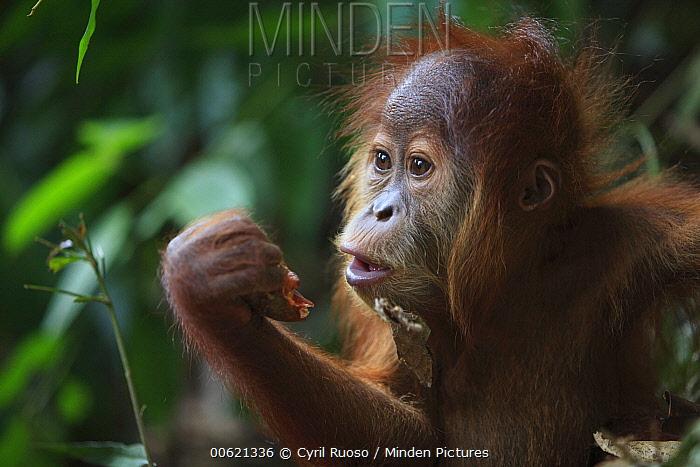 Sumatran Orangutan (Pongo abelii) baby feeding, Gunung Leuser National Park, Sumatra, Indonesia