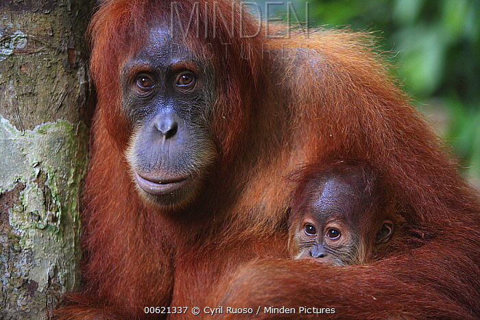 Sumatran Orangutan (Pongo abelii) baby and mother, Gunung Leuser National Park, Sumatra, Indonesia