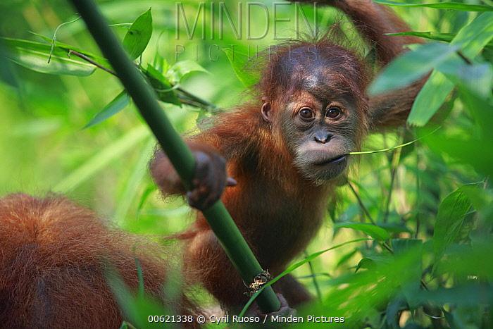 Sumatran Orangutan (Pongo abelii) baby chewing on twig, Gunung Leuser National Park, Sumatra, Indonesia