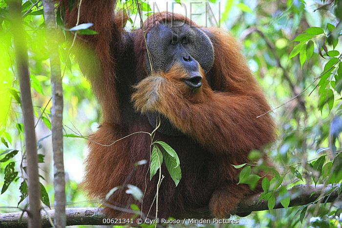 Sumatran Orangutan (Pongo abelii) male calling, Gunung Leuser National Park, Sumatra, Indonesia