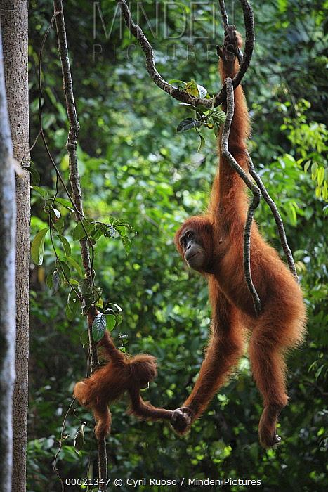 Sumatran Orangutan (Pongo abelii) mother and young hanging on lianas, Gunung Leuser National Park, Sumatra, Indonesia