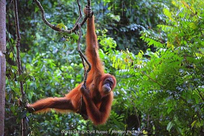 Sumatran Orangutan (Pongo abelii) female hanging on lianas, Gunung Leuser National Park, Sumatra, Indonesia