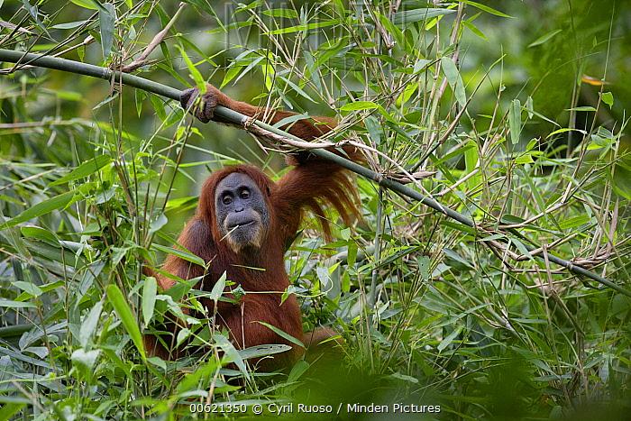 Sumatran Orangutan (Pongo abelii) eating bamboo, Gunung Leuser National Park, Sumatra, Indonesia