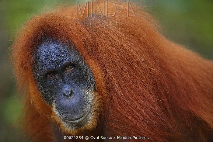 Sumatran Orangutan (Pongo abelii) male, Gunung Leuser National Park, Sumatra, Indonesia