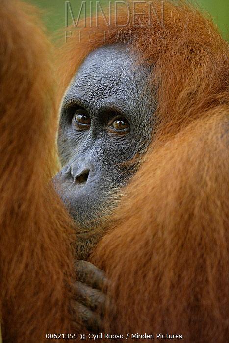 Sumatran Orangutan (Pongo abelii) male portrait, Gunung Leuser National Park, Sumatra, Indonesia